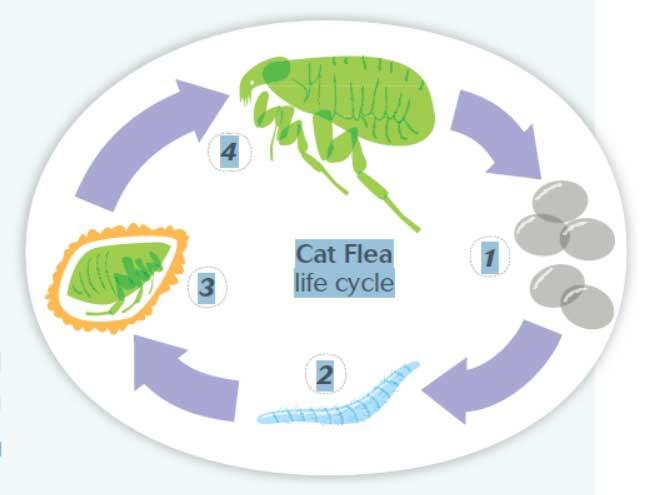 Cat Flea Life Cycle
