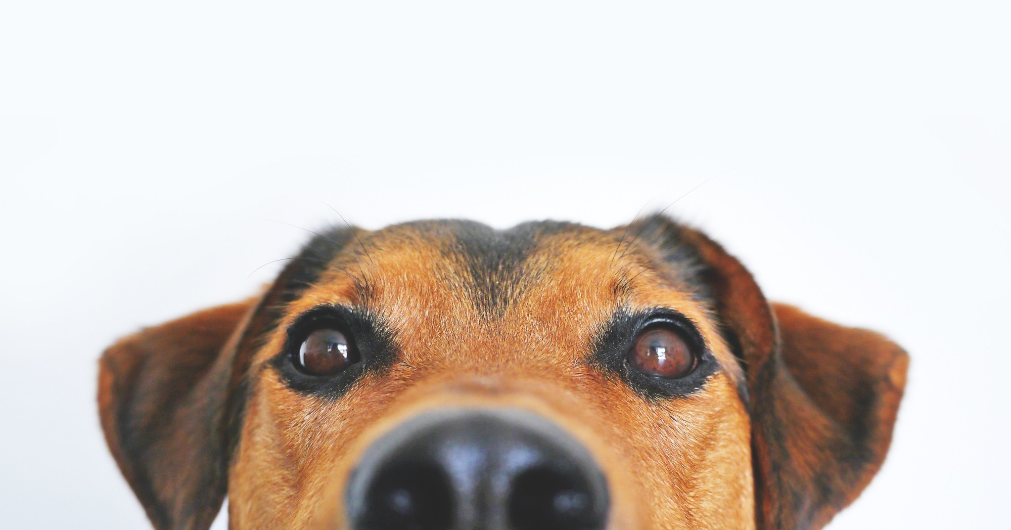 My dog's nose is dry: is it serious?